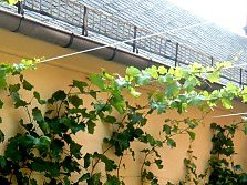 Canopies, roof like greening and so on.: here a green roof thanks to Dutchman's Pipe
