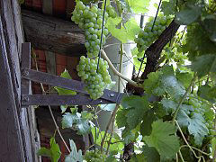 Training a vine into a canopy