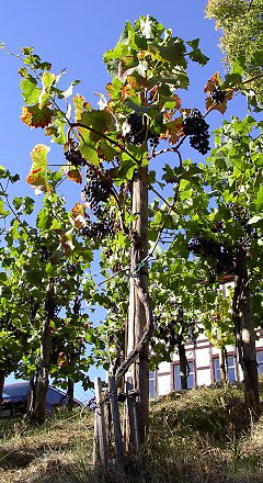 Training grapevine in circular canes