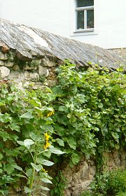 Garden wall with grapevine