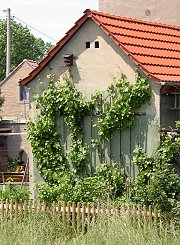 Gable greening with grapevines, near Torgau / Saxony