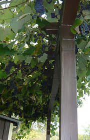 Green roof with grapes