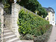 A green wall thanks to many grapevines on wooden trellises, Dornburger Schlösser / Thuringia