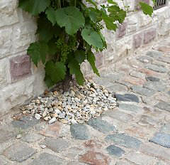 House vine in a graveled plant ring