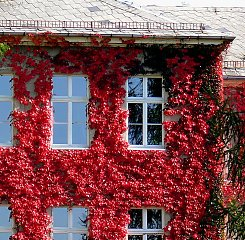 Autumn colouring of three-lobed Boston Ivy