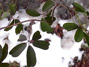 Evergreen and semi-evergreen plant: Akebia with winter foliage