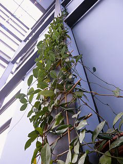 Interior greening, climbing plants on bamboo trellises