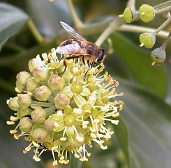 Insect protection: Bees on Ivy