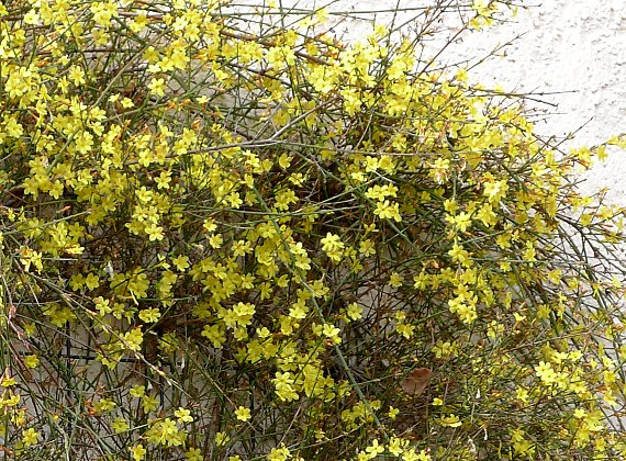 Jasminum nudiflorum in Winter
