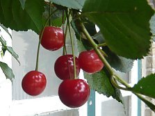 Cherries on a house wall