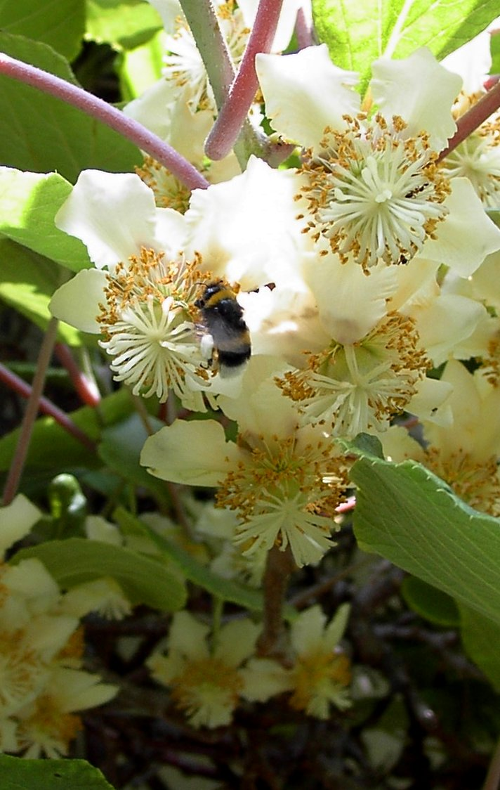 Kiwi As Espalier For House And Garden