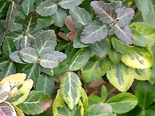 Euonymus fortunei - A plant made for the shade