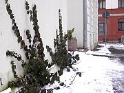 Climbing plants: Winter creeper in snow