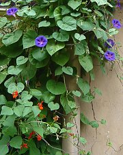 Annual morning glory (Ipomoea indica) and scarlet runner bean (Phaseolus coccineus)
