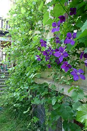Grapevine and Clematis 'Jackmannii' climbing along a housewall