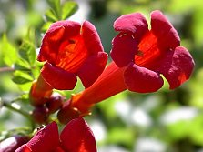 The trumpet vine (Campsis) is popular for its exotic flowers and vigorous growth