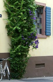 Clematis intertwined with a climbing plant