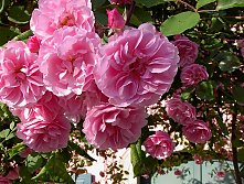 Climbing roses (Rosae) are perfect for walls! Apart from the greenery, they also produce delightful flowers and, above all, cause no building damage.