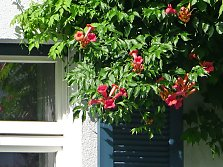 Trumpet Vine for Greenery