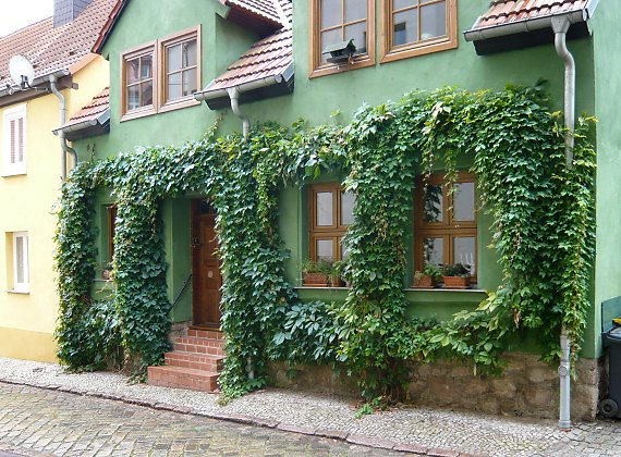 Greening with Parthenocissus inserta