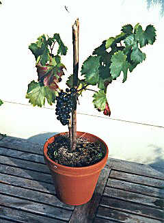 Grapevine cultivation in pots.