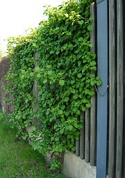 Noise barrier fence greened with climbing hydrangea