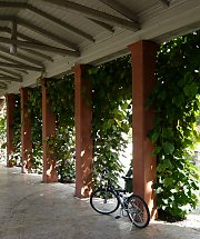 Greened colonnade, Wild Grapes