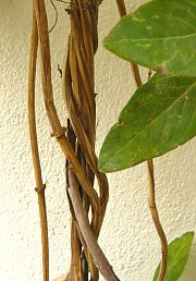 Lianas on steel cable