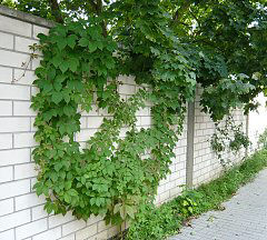 Wall greening with climbing plants