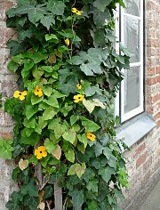 Mixed greening with ivy and annual Thunbergia (Black-eyed Susan)