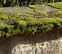 Moss on a coping