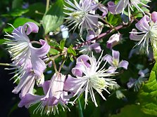 "Bush clematis ""Mrs. Robert Brydon"""
