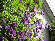 Here Clematis viticella