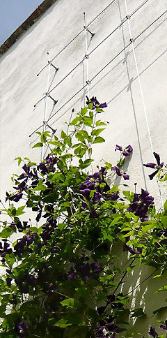 Wire-Rope Climbing Structure for Clematis