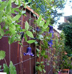 Wire net for Clematis