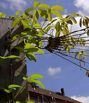 Fan-shaped trellis net made of wire rope for akebia