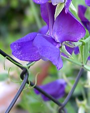Sweet pea, a tendril climber