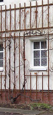 Grapevine before pruning