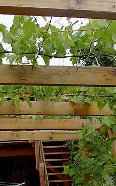 Training grapevine for greening pergolas