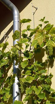 A greened up Drainpipe with Vines
