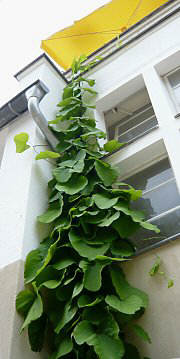 A greened drainpipe with Dutchman's Pipe