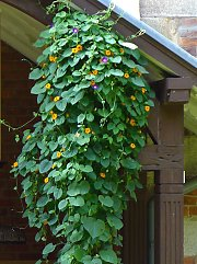 Annual climbing plants (Black-eyed Susan and blue morning glory) in combination