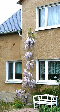 Diagonal training of a Wisteria plant