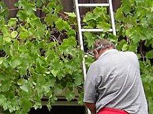 Rebschnitt Schnitt Weinreben Schnittanleitung Für Rebschnitt