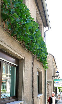 Trellis with vine