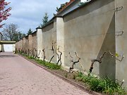 Espalier wall with vines on horizontal wires