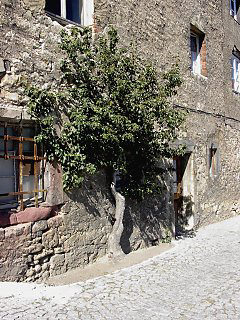 Espalier tree at Dornburger Schlösser (Castle) / Thuringia
