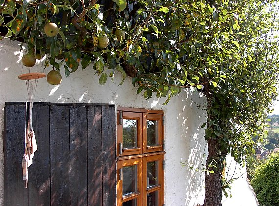 "Espalier fruit tree grown on the facade of a half-timbered house - the cultivar is probably ""Josephine von Mecheln"". Kohren-Salis / Saxe"