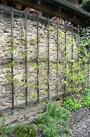 Trellis wall for fruit bushes