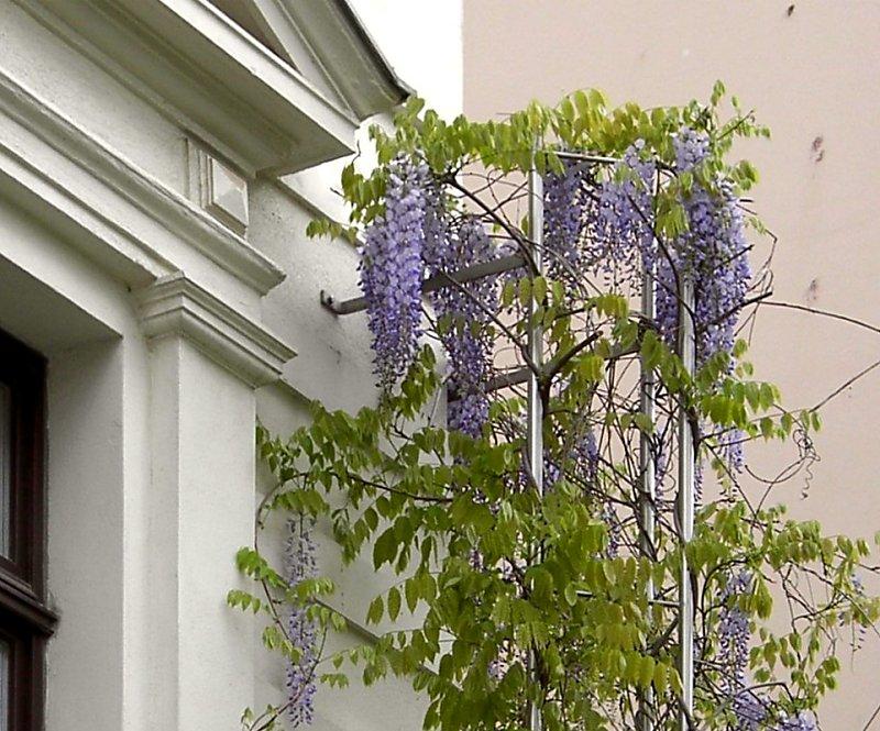 blauregen glyzinie glycinie wisteria 80 100 14 80 pflege schnitt. Black Bedroom Furniture Sets. Home Design Ideas